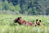 Mother grizzly and cub grazing in the high sedge grasses, Khutzeymateen Grizzly Bear Sanctuary, BC