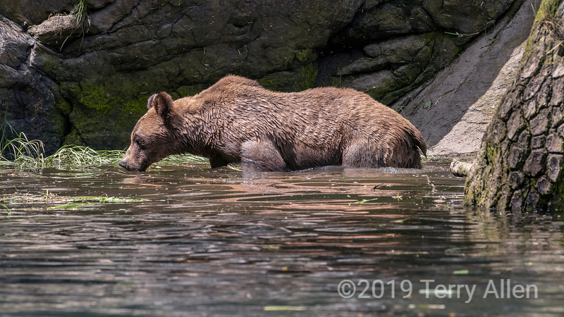 Female grizzly standing in the water takkng a sip, Khutzeymateen, BC