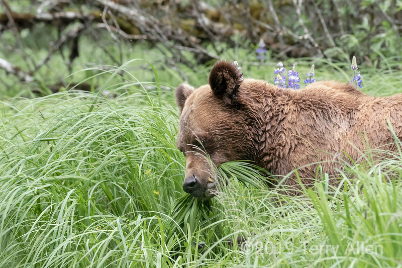 Grizzly bear in the lupines grabbing a mouthful of sedge grass, Khutzeymateen, BC