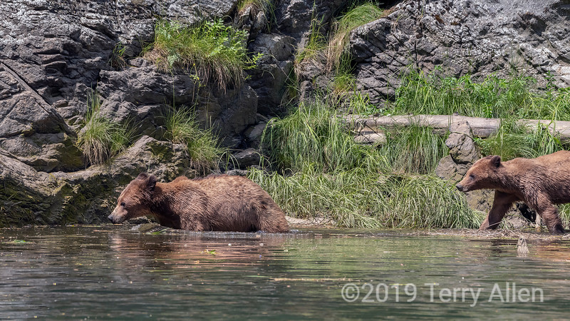 Follow the leader, grizzly cubs walking along the shorelline, Khutzeymateen, BC