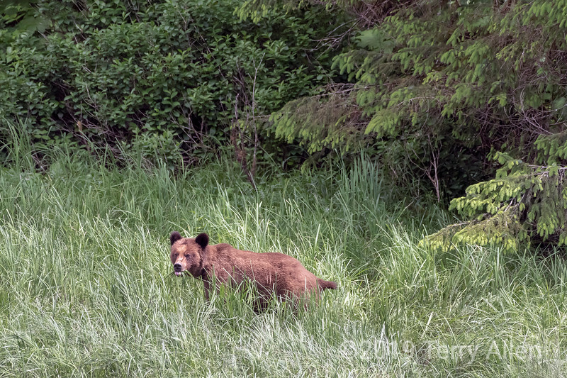 Grizzly bear in the spring in the Great Bear Rainforest, Khutzeymateen, BC