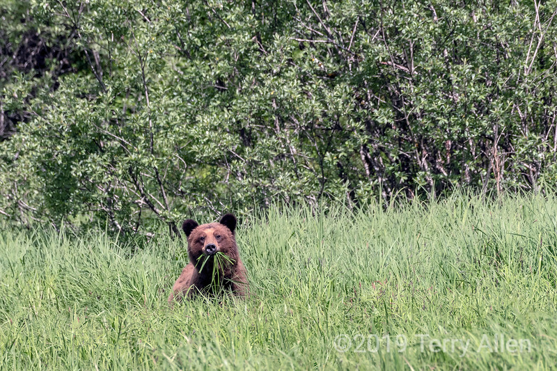 Adult grizzly bear with a mouthfull of sedge grass, Khutzemateen, BC