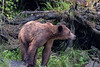 Dirty wet young grizzly in the woods by deadfall trees, Khutzeymateen, BC