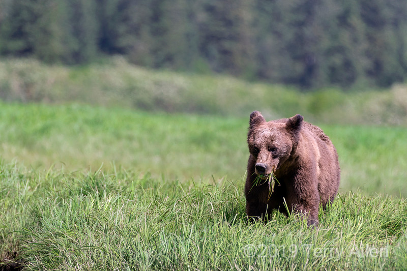 Mother grizzly feeding in the protein-rich coastal sedge grassess, Khutzeymateen, BC