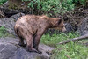 Wet grizzly cub watching for its mother, Khutzeymateen, BC