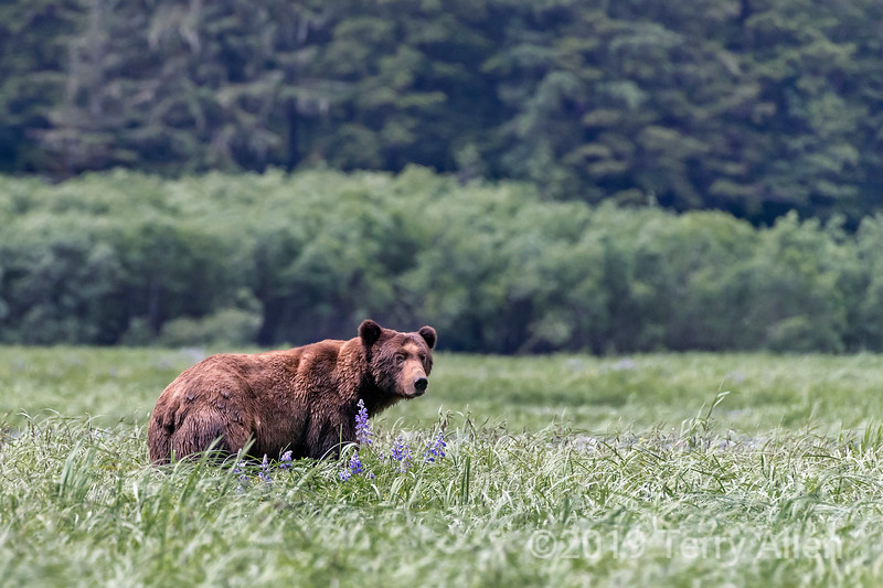 Large adult grizzly bear in the sedge grass in the estuary with lupines, Khutzeymateen, BC