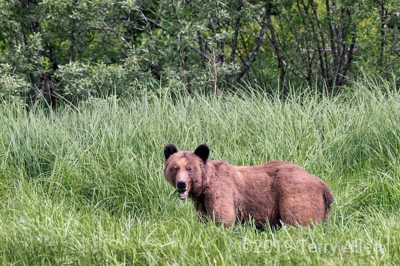Large adult grizzly bear grazing in the sedge grass meadows along the shoreline, Khutzeymateen, BC