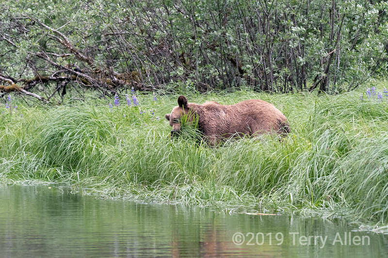 Grizzly bear among blooming lupines shoving a bunch of sedge grass into its mouth, Khutzeymateen, BC