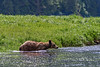 Grizzly bear starting to cross a water channel, Khutzeymateen, BC