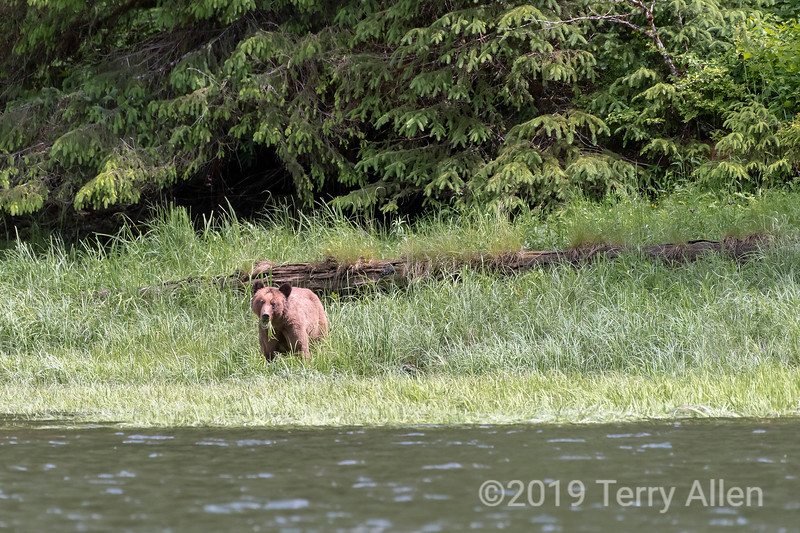 Grizzly bear on the foreshore eating spring sedge grasses in front of old growth rainforest, Khutzeymateen, BC