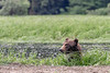 Grizzly bear standing in a water channel feeding on sedge grass, Khutzeymateeen estuary, BC