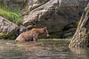 Time for a bath,,,  Young grizzly bear in the water by the shore, Khutzeymateen, BC