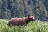 Alert grizzly bear watching distant rival in the sedge grass meadow, Khutzeymateen, BC