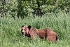 Large adult grizzly bear chewing sedge grass along the shoreline, Khutzeymateen, BC