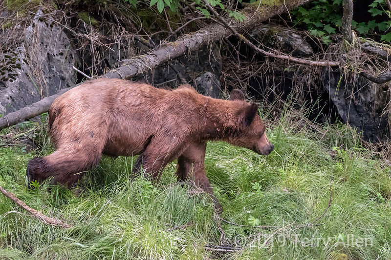 Grizzly bear cub headed for its mother up the hill to the right, Khutzeymateen, BC