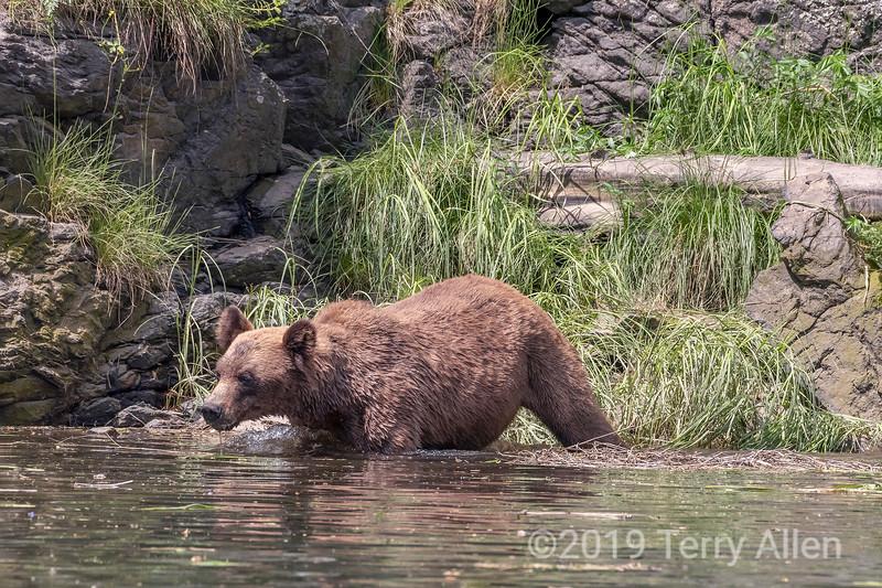 Female grizzly walking along the shore, Khutzeymateen, BC