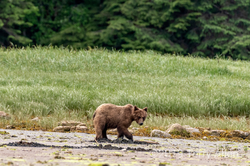 Grizzly cub digging for clams, Khutzeymateen, British Columbia