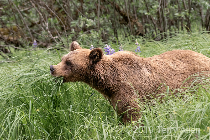 Grizzly bear chowing down on the estuary sedge grass, Khutzeymateen, BC