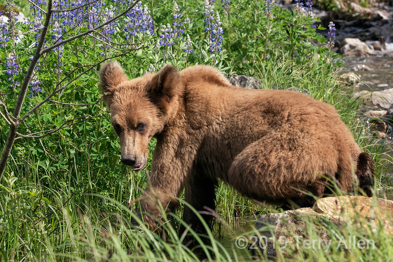 Young grizzly bear foraging by a stream, Khutzeymateen, BC