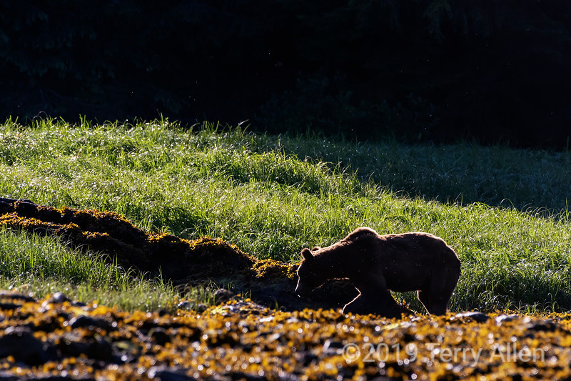 Backlit grizzly bear with kelp flies, early morning low tide, Khutzeymateen estuary, BC