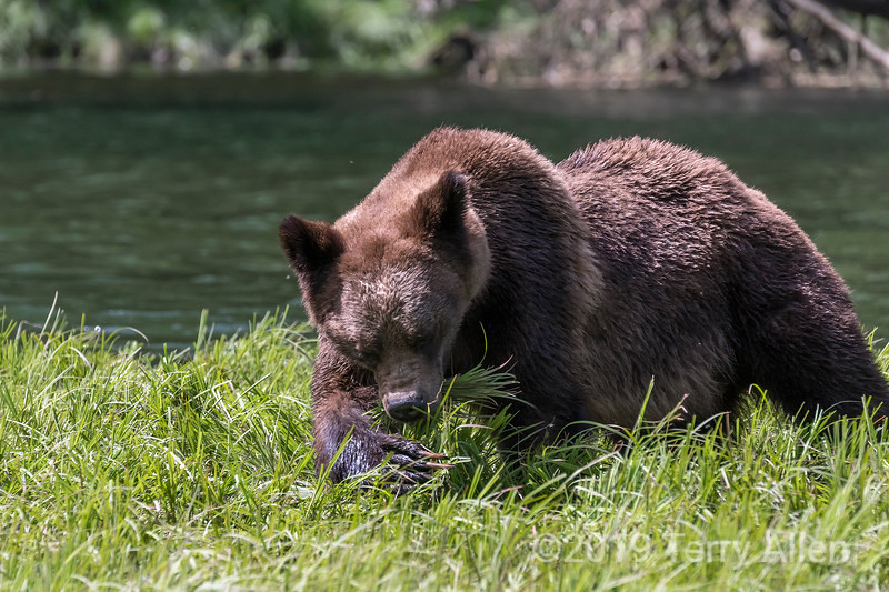 Female grizzly shoving sedge grass into her mouth with her big clawy, Khutzeymateen estuary, BC