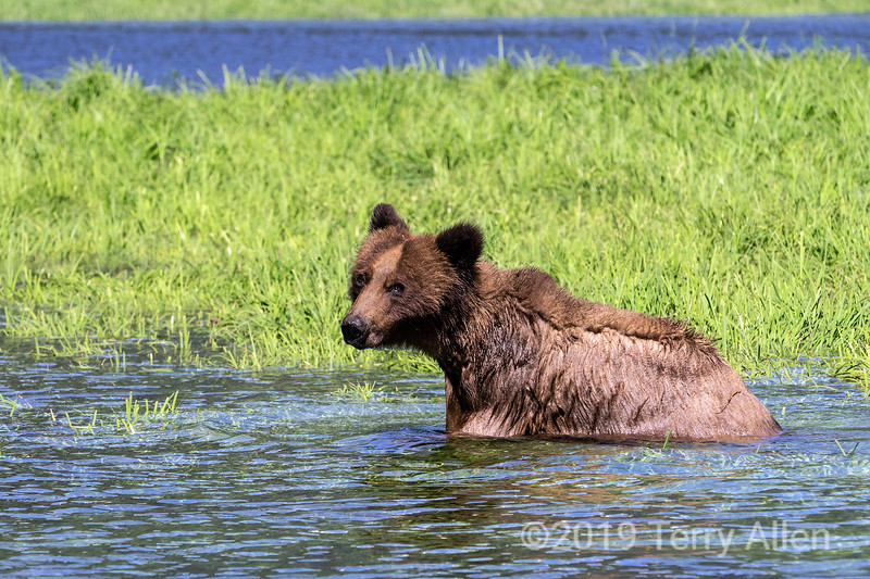 Young grizzly bear in the water by a patch of sedge grass, Khutzeymateen, BC