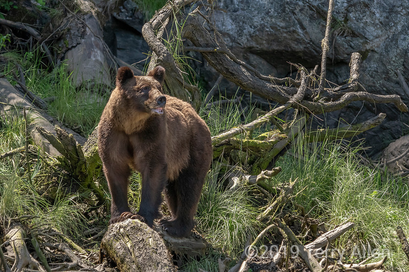 Mother grizzly with curled lip in stress display sensing a male in the area, Khutzeymateen inlet, BC
