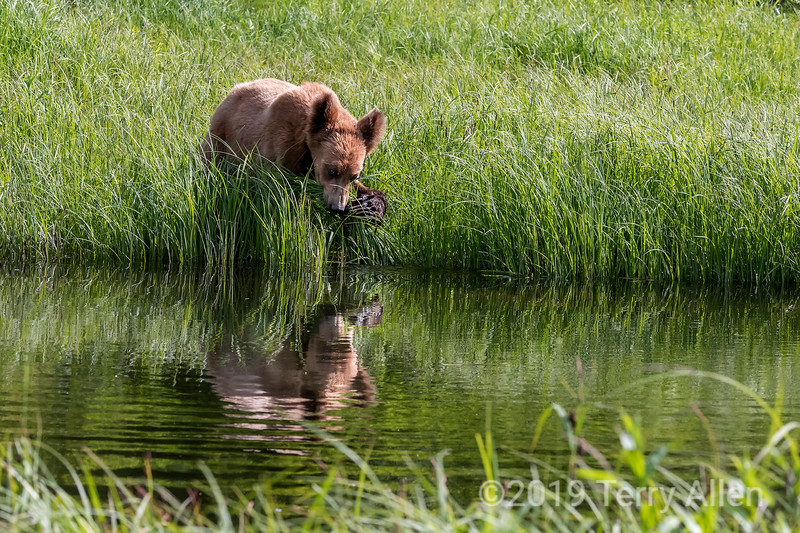 Grizzly cub by the water clawing grass into its mouth with reflections, Khutzeymateen, BC