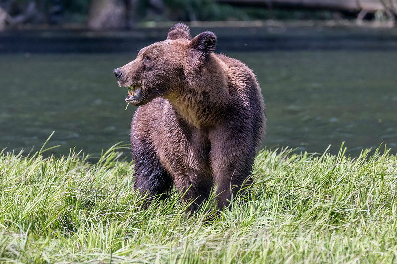 Alert grizzly mother keeping an eye out for danger while feeding in the spring sedge grasses, Khutezymateen estuary, BC