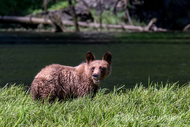 Yearling grizzly cub feeding in the spring sedge grass, Khutzeymateen estuary, BC