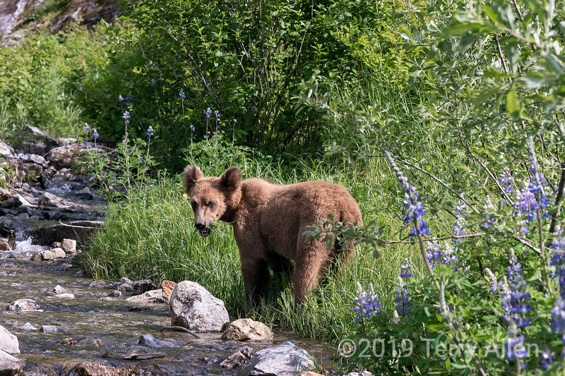 Young grizzly bear feeding by a stream, Khutzeymateen, BC
