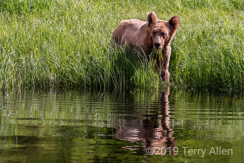Reflected girzzly cub eating sedge grass at the water's edge, Khutzeymateen, BC