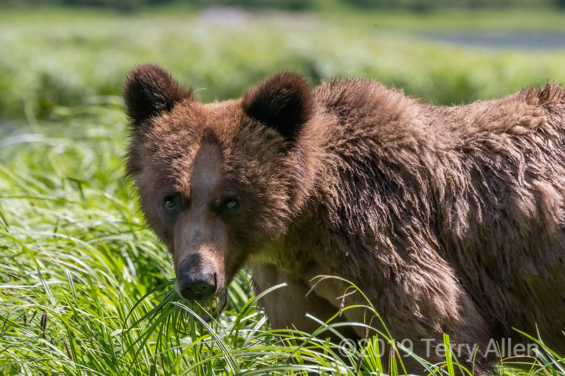 Close-up of a large grizzly bear feeding in a sedge grass meadow, Khutzeymateen estuary, BC