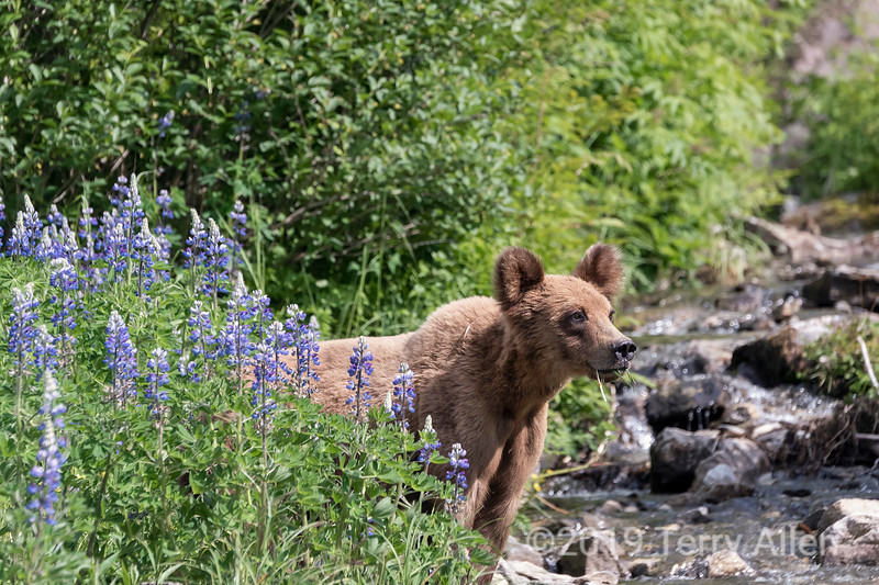 Alert grizzly bear cub eating grass in lupine blossoms, Khutzeymateen, BC