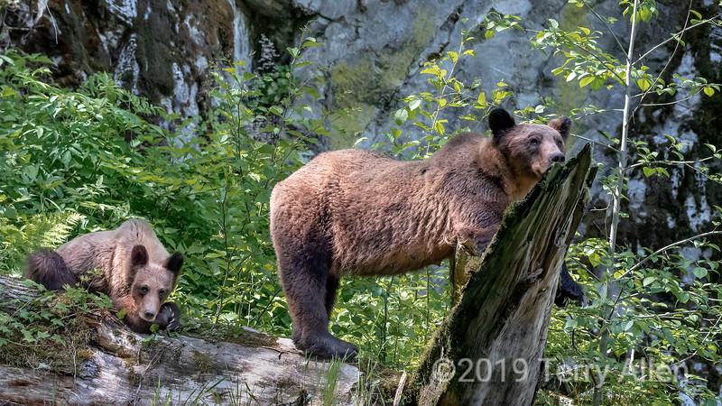 Mother grizzly and cub on a deadfall, Khutzemateen estuary, BC
