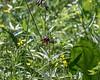 Chocolate lilies (Fritillaria camschatcensis) and buttercups, sedge grass meadow, Khutzeymateen, BC