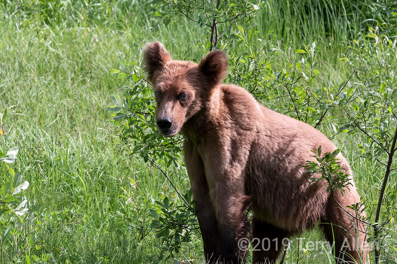 Grizzly cub in the spring vegetation, Khutzeymateen, BC