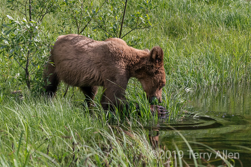 Grizzly cub grabbing grass from the water with its long claws, Khutzeymateen, BC