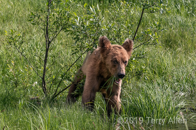 Grizzly cub eating sedge grass by the water's edge, Khutzeymateen, BC