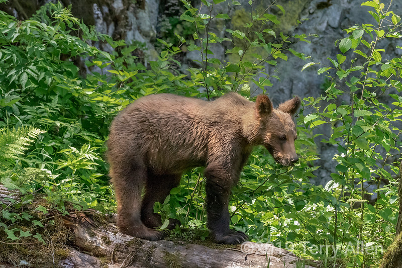 Young grizzly bear yearling on a log, Khutzeymateen inlet, BC