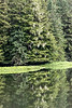 Bearded lichen (Usnea longissima, old man's beard) in the rainforest with reflections, Khutzeymateen, BC