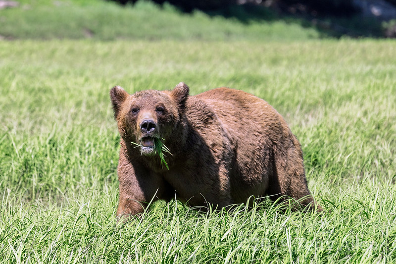 Adult grizzly bear feeding in a sedge grass meadow, Khutzeymateen, BC