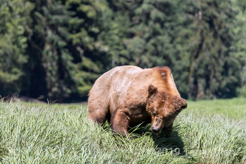 Scarred up big old male grizzly feeding in sedge grass  Khutzeymateen Inlet, BC