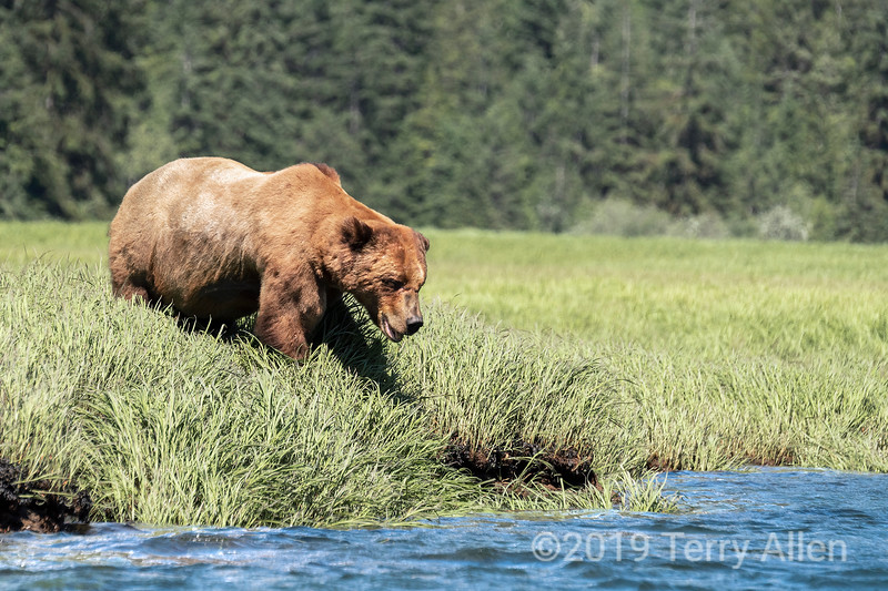 Scarred up old grizzly bear in the sedge grass, Khutzeymateen, BC