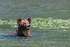 Grizzly bear in the water at high tide near some sedge grass, Khutzeymateen, BC