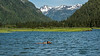 Grizzly bear swimming between patches of sedge grass on a rising tide, Khutzeymateen, BC