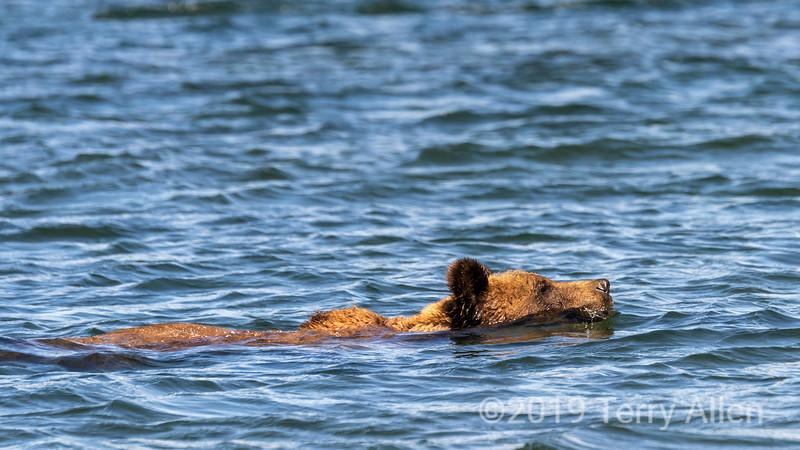 Swimming grizzlybear, Khutzeymateen Inlet, BC