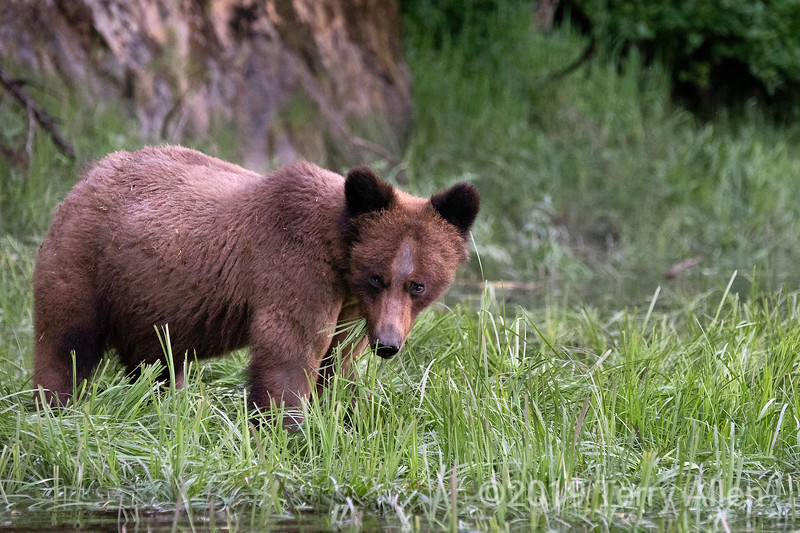 Adult grizzly bear feeding on sedge grass by the shoreline, Khutzeymateen Inlet, BC