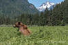 Grizzy bear in the spring sedge grass meadows of Khutzeymateen Inlet, BC