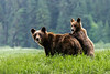 Mother grizzly and cub checking out the photographer, Khutzeymateen Inlet, BC